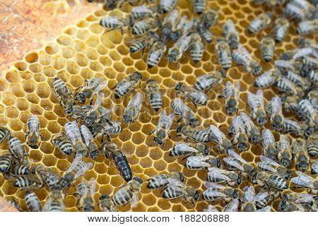 Closeup photo of queen bee in honeycombs