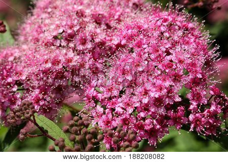 beautiful red flower spirea in the blurred background