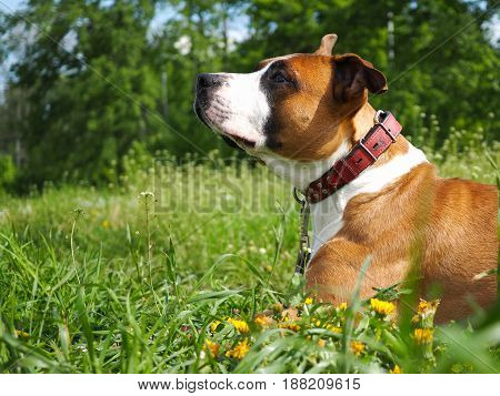 beautiful dog in the green grass. Staffordshire Terrier portrait.