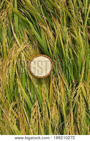 Rice in wooden cap on the field. Vintage rice in the rice field. Close up of rice on the field. Vertical photo without people.
