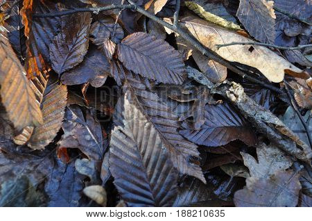 Beach fallen leaves its nature background in forest