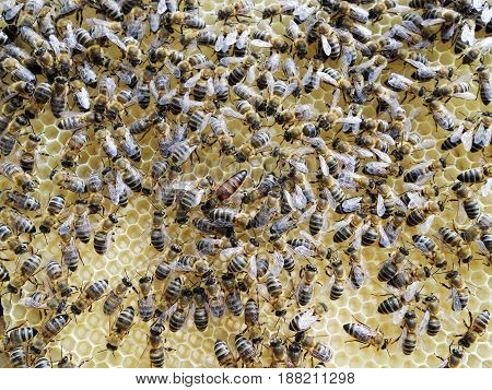The photo shows beehive honey nectar hive swarm winged bee honeycomb wax private apiary beekeeper beeswax.Beehive honey for beeswaxes honeycombs beekeepers.Honeycomb consists from apiculture beehives.