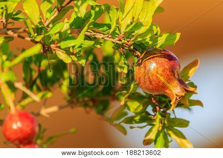 Small fruit of pomegranate on a tree