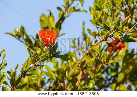 Bright red flower of pomegranate on a tree