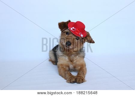 Dog wearing a red hat In the lying position