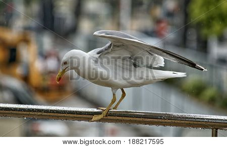 Seagull on the iron handrail at rainy weather with blurred background of city. Close-up of big seagull, rainy drops on the feathers