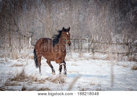 A beautiful brown horse in the walk on the snowy pasture