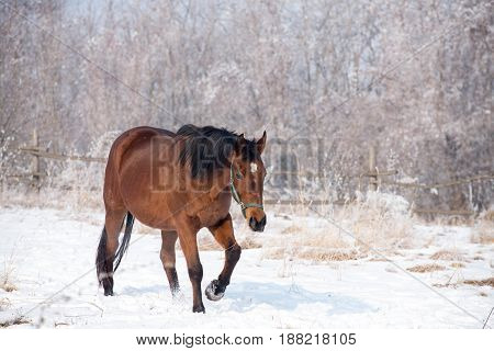 Photo of beautiful bay horse on the snowy meadow