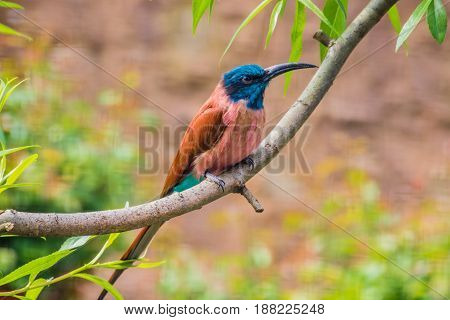 Carmine Bee-eater Sitting On Tree Branch Red And Blue Feathers