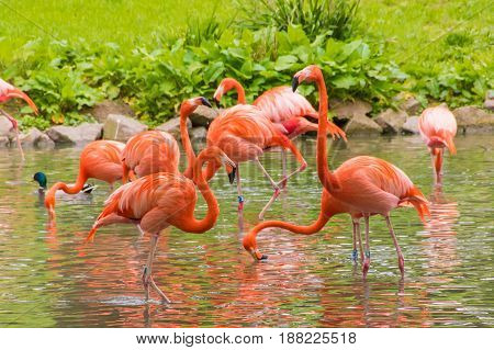 Flamingo Phoenicopter Red Feathers Standing In Pont