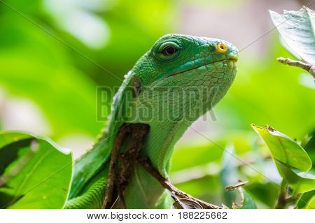 Green Tropical Lizard Sitting On Tree Branches With Leafs
