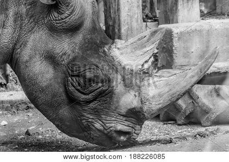 Rhino Rhinoceros Head Horn Grey Thick Skin Black And White