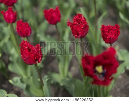 fresh colorful tulips flowers field, close-up view
