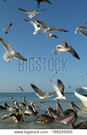 Various birds flying and swimming at the beach of Holbox island, Mexico