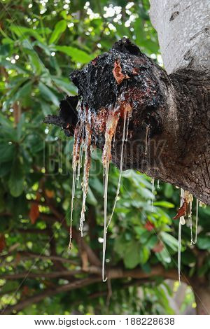 Resin drips from a branch of a tropical tree
