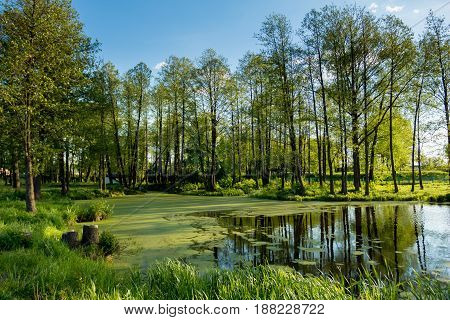 Summer landscape overlooking the lake overgrown with duckweed on the bank of which grow tall trees