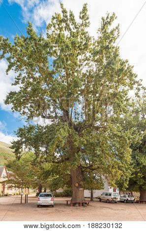 GENADENDAL SOUTH AFRICA - MARCH 27 2017: An historic oak tree on Church Square in Genadendal. Genadendal is the first mission station in South Africa founded 1738