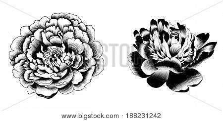 Rose flower, blossom rose flower, drawn rose flower, monochrome rose flower, decoration rose flower. Vector.