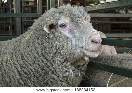 Close up of a sheep head in a farm cowshed. Selective focus.