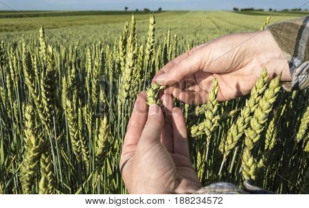 Female hand in barley field farmer examining plants agricultural concept. Selective focus.