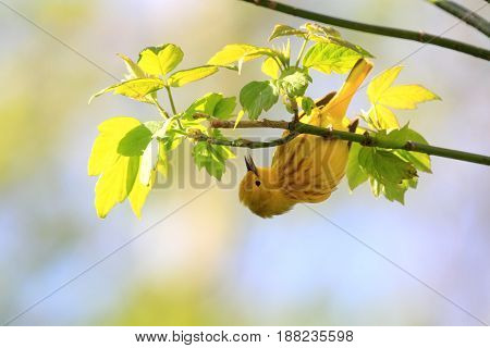 Yellow Warbler feeding on insects in early spring