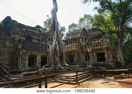 Angkor Wat Temple and Huge Trees in Cambodia
