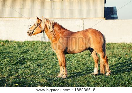 A red horse with a bright mane stands on the green grass in the evening.