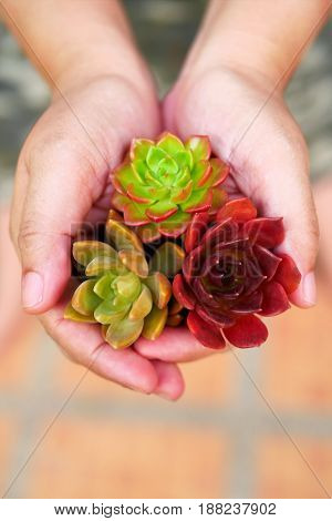 Top view cute colorful flora succulent plant in woman hands