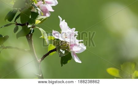 beautiful flowers on the branches of apple trees .