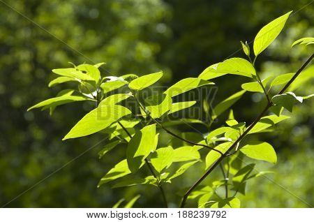 Green leaves in a clear sunlight close up