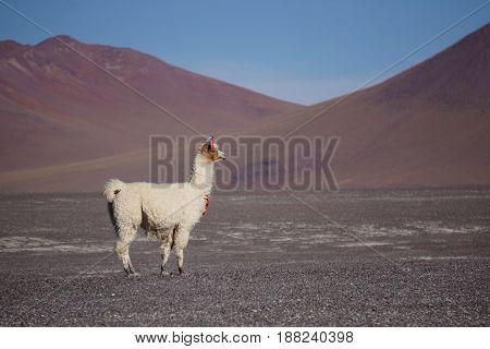 A Llama in a flat open field in front of a mountainous landscape