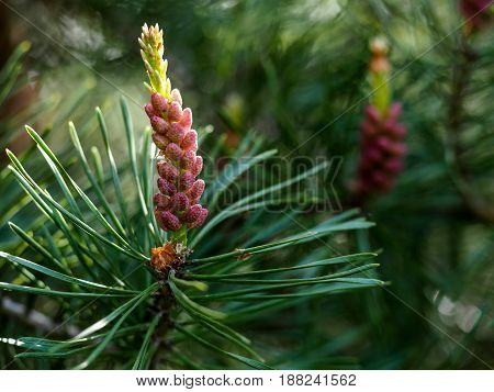 Beautiful Young Bump On A Coniferous Tree
