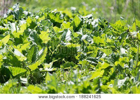 burdock leaf grass in nature . A photo