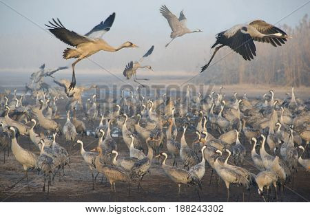 View of migrating cranes in the morning.