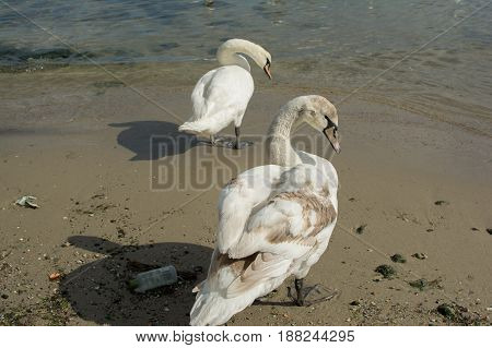 Swans on dirty shore of the Black Sea in Bulgaria, Varna.