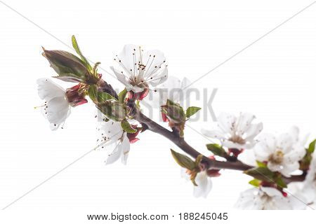 Branch of blooming spring apricots on a white background