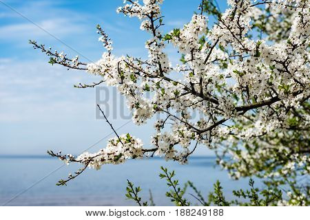 Image Of Lush Early Spring Foliage - Vibrant Green Spring Fresh Leaves Of Blooming Apple Tree In Spr
