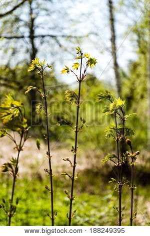 Horizontal Image Of Lush Early Spring Foliage - Vibrant Green Spring Fresh Leaves Of Birch Tree In S