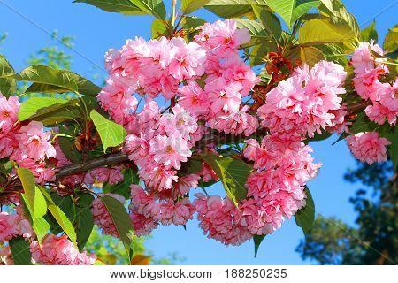 Sakura. Cherry Blossom in Springtime. Beautiful Pink Flowers