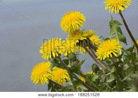 few yellow dandelions flowers green leaves petals