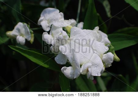 White flowering sweet pea plant with dew drops.