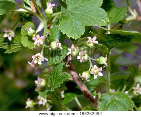 flowers of black currant in the garden, selected focus, macro