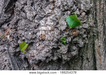 Bark tree background, texture. Poplar bark with young leaves close-up.