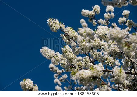 Blue Sky In Sunny Spring Garden With Blossoming Bird Cherry