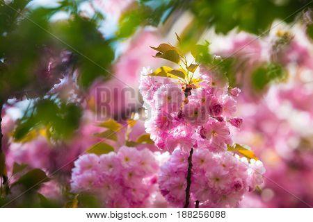 Cherry Blossom Or Sakura Flower