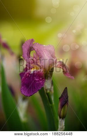 Beautiful flowers Irises on a sunny summer day