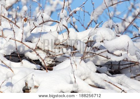 snow on the branches of a tree against the blue sky .