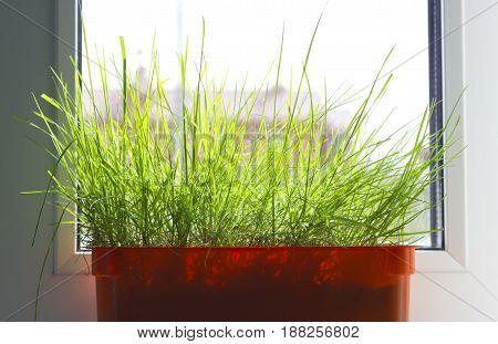 Orange pot with green grass on the windowsill on clean window.