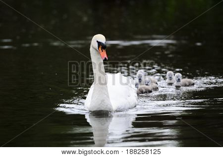 A group of cygnets not more than 2mn days onld swimming in the river following their mother