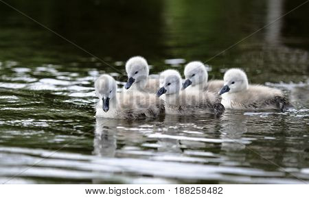 A group of cygnets not more than 2 days onld swimming in the river following their mother